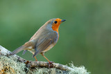 Pretty bird With a nice orange red plumage - 192712879