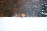Fox hunting in a field on a winter day - 192718032