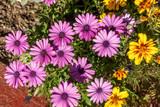 Gazania Flowers in garden, summer natural background - 192727615