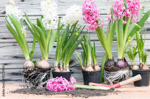 Hyazinthen und Osterglocken pflanzen für den Frühling