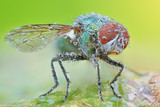 Sharp and detailed photo of Fly (Lucilia Spp. ) with morning dew - 192731249