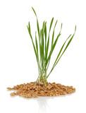 Wheat seedlings - 192733430