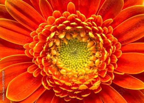 Plexiglas Gerbera Goldy daisy face