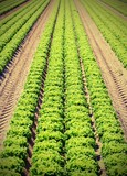 green lettuce in the cultivated field in summer with vintage effect - 192741655