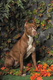 Brown American Pit Bull Terrier - 192743689