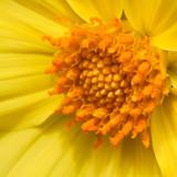 beautiful flower of bright yellow Coreopsis - 192759044