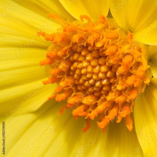 beautiful flower of bright yellow Coreopsis