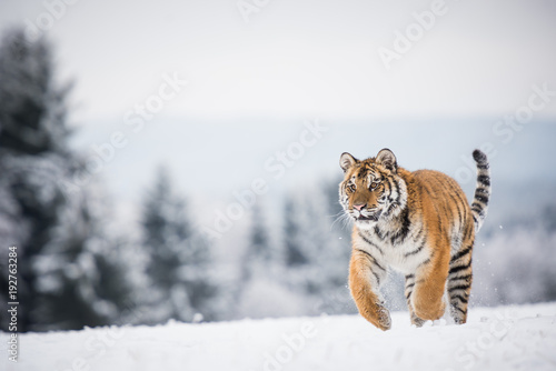 Aluminium Tijger Young Siberian tiger running across snow fields