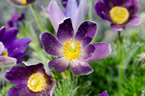 Purple flower yellow center fuzzy