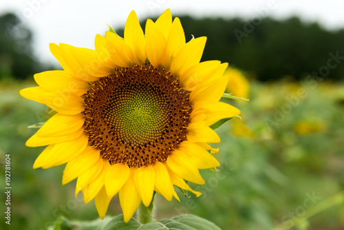 Foto op Plexiglas Pistache sunflowers in sunflower field bee insect