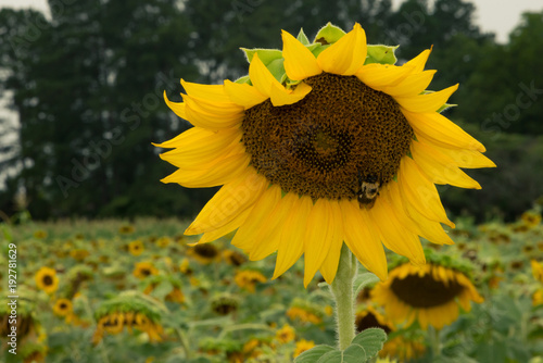 Fotobehang Honing sunflowers in sunflower field bee insect