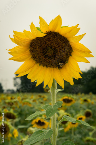 Papiers peints Beige sunflowers in sunflower field bee insect