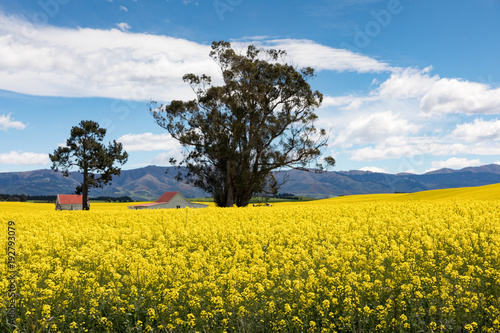 Fotobehang Oranje Red roofed buildings amidst the bright yellow flowers of a canola field in New Zealand