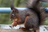 Eichhörnchen mit Haselnuss - 192798021