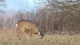 Wild roe buck, grazing in a field during winter season - 192803068