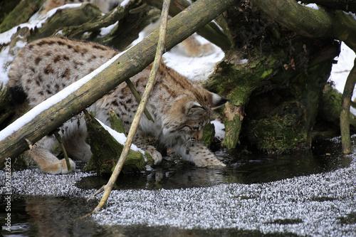 Foto Murales Europäischer Luchs (Lynx lynx) Jungtier spielt am gefrorenen Teich