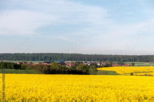 Foto op Canvas Oranje Rapsfeld gelb blühend in sonniger Landschaft