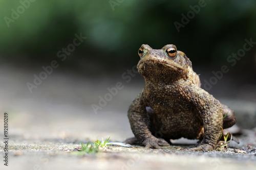 Foto Murales großer dicker Frosch auf einem Weg sitzend in Nahaufnahme