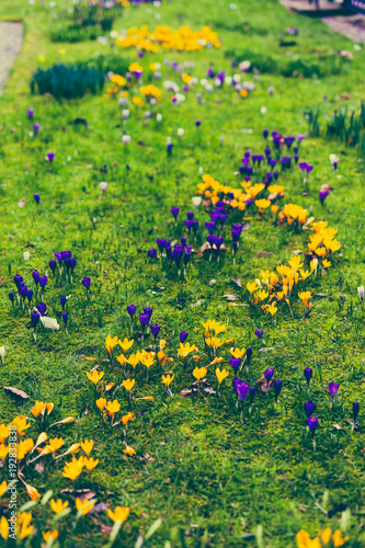 Foto op Canvas Natuur crocus flowers bloomin in on a green meadow