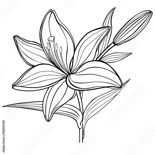 A lily flower with a bud. black and white. linear drawing. coloring book for adult and older children - 192845493