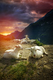 goats in the mountains. - 192846667