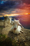 goats in the mountains. - 192846670