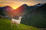 llamas in the mountains. - 192846671
