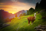 llamas in the mountains. - 192846674