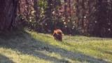 Ein Eichhörnchen (Sciurus vulgaris) bei der Futtersuche im Spätwinter  - 192847447
