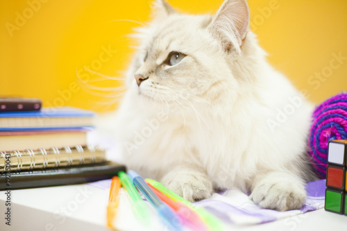 A female siberian cat against yellow background