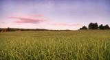 Sonnenuntergang mit Vollmond über Getreidefeld