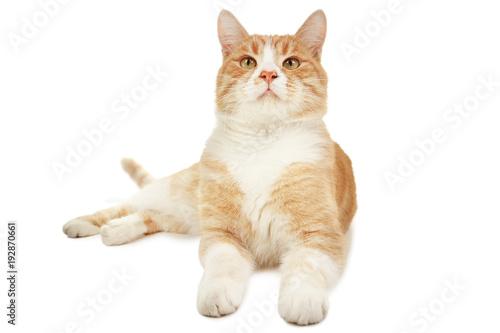 Ginger cat isolated on white background