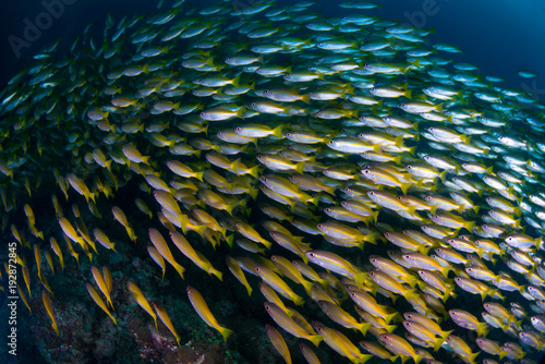 Fotobehang Thailand A school of bigged snappers