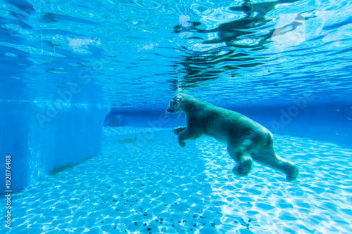 Aluminium Ijsbeer Polar bear swims in the pool of Singapore zoo