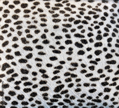 White fur with black spots like an animal
