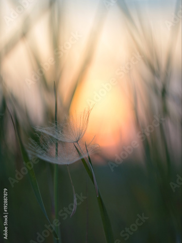 Aluminium Paardenbloemen Dandelion seeds in the grass against the sunrise.