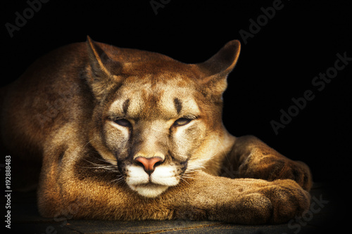 Fotobehang Panter cougar portrait on black background