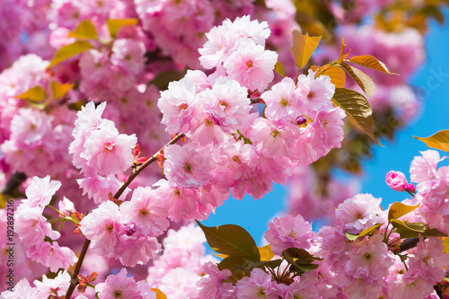 Fotobehang Kersen Cherry tree in pink flowers on blue sky background, bloom