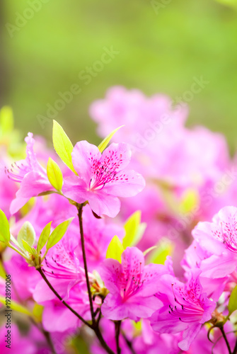 Aluminium Azalea Royal azalea blossom in soft style for background