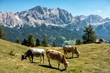 Landscape view with cows of Unesco World Heritage site Dolomiti, Alta Badia, Italy