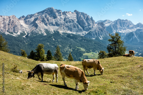 Poster Landscape view with cows of Unesco World Heritage site Dolomiti, Alta Badia, Italy
