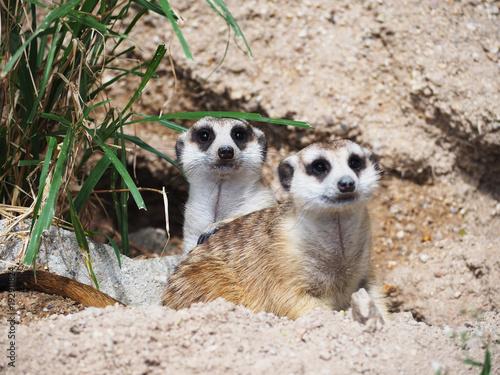 meerkat animal resting in front of tunnel.