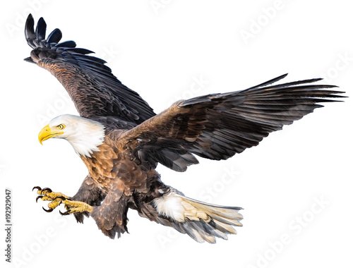 Bald eagle flying attack hand draw and paint color on white background illustration. © patthana