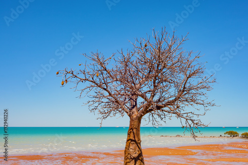 Aluminium Baobab A boab (baobab tree) tree grows on the coastline in Broome, a coastal town in the Kimberley region of Western Australia, Australia.