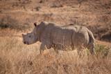 The Endangered White Rhino - 192940640