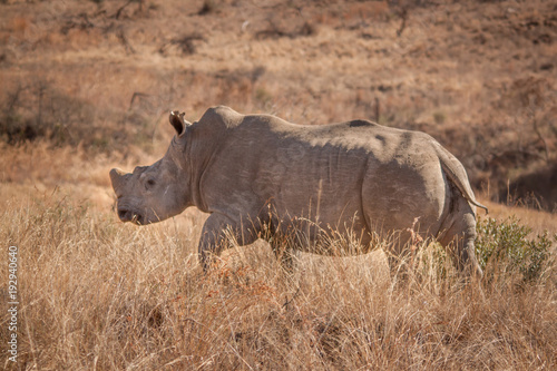 Aluminium Neushoorn The Endangered White Rhino