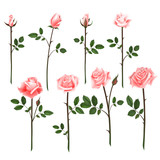 Vector set of pink roses. Four pink roses from bud to full blossom.
