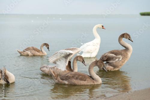 Aluminium Zwaan Flock of swans near the pond