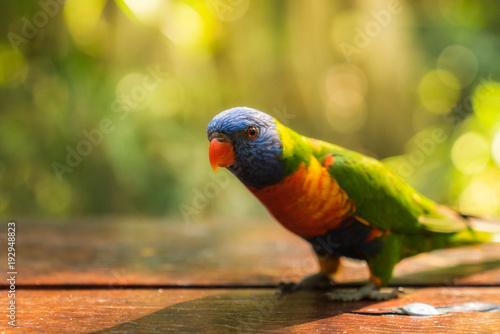 Fototapeta Closeup image of a Rainbow Lorikeet sitting on a table