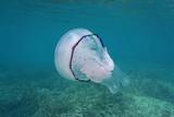 A barrel jellyfish Rhizostoma pulmo underwater in the Mediterranean sea, Cote d'Azur, France - 192949085